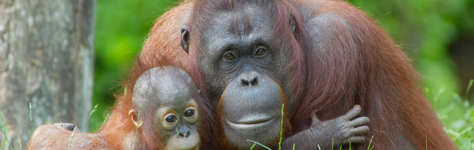 Marvel at Borneo's Orangutans